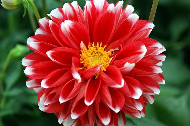 折り紙の 折り紙の花 : ダリア花言葉,誕生花(色:赤,白 ...