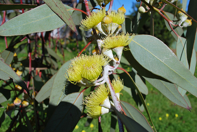 Eucalyptus 01